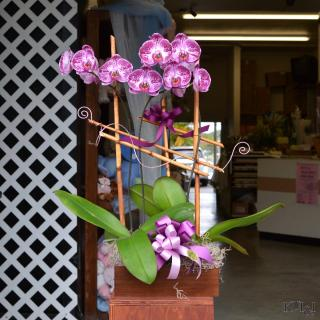 Phalaenopsis Orchid Plant (Double Spike)