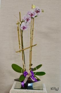 Phalaenopsis Orchid Plant (Single Spike)