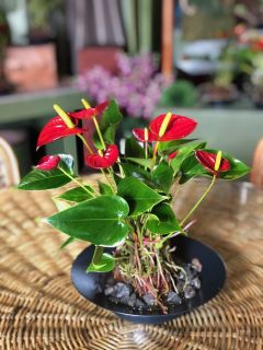 #2 Anthurium Planter
